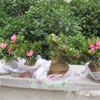 石岩杜鹃,石岩杜鹃苗,别名东洋杜鹃、朱砂杜鹃、春鹃小花种厂