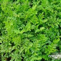 供应水生植物水芹,又名水英、牛草、楚葵、刀芹