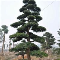 黑松,黑松苗,黑松盆景,别名:白芽松,松树,黑松基地