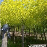 河北那里有卖高接金叶榆的――金叶榆基地