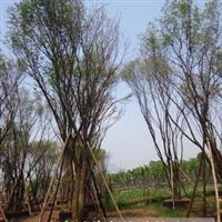 供应丛生茶条槭;茶条槭基地;四川丛生茶条槭;泸州丛生茶条槭