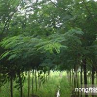 合欢直销 江苏沭阳绿化王国苗木基地供应合欢 货源充足