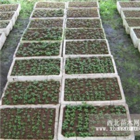 高山杜鹃种苗