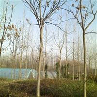 供应栾树、红叶小檗、紫薇、广玉兰、红花继木