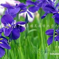 供应鸢尾、红叶小檗、紫薇、麦冬草、河南桧柏