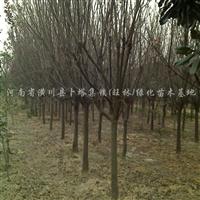供应紫叶李、红叶小檗、金叶女贞、紫微、广玉兰、梅花