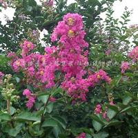 供应紫薇、桧柏、塔柏、紫荆、鸢尾、栾树、广玉兰