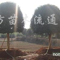 供应12-25cm精品桂花