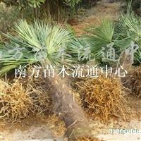 供应棕榈(唐棕、山棕)