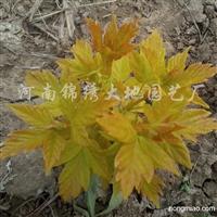 供应金叶复叶槭扦插苗等彩叶树
