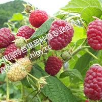 供应江西欢乐果园源生态改良覆盆子种苗