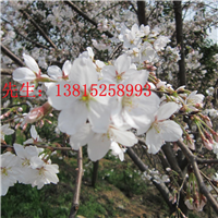 苏州樱花树价格庭院景观绿化设计别墅绿化