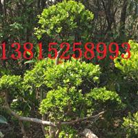 苏州造型树、瓜子黄杨树,苏州景观绿化工程