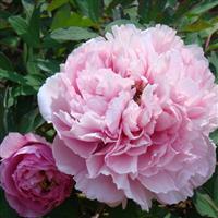 盆庭栽芍药、庭院观赏芍药苗