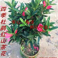四季红山茶花