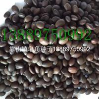 皂角种子价格一览表