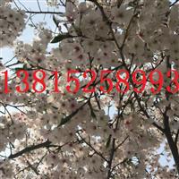 苏州樱花树价格、樱花树价格、鸿运果