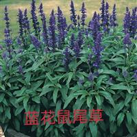 蓝花鼠尾草供应