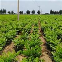 美国黑核桃苗基地果材兼用型绿化经济核桃苗
