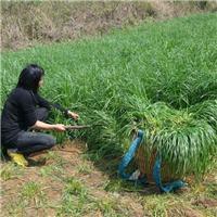 黑麦草种子正是播种季节/草坪种子/牧草种子