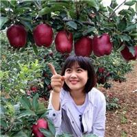 新品优质天水花牛系苹果苗直发
