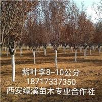 陕西紫叶李【红叶李】10公分