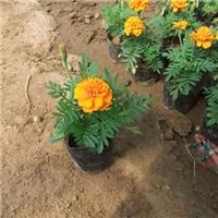 花圃基地直销时令草花孔雀草物美价廉