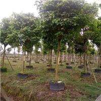 各种规格大型绿化景观乔木秋枫长期供应