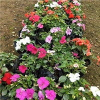 �K州花卉基地大量供���r花矮�颗N锩�r廉