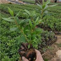 花园庭园花卉植物毛杜鹃批发价大量供应