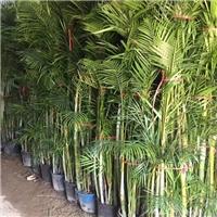 低价批发盆栽盆景散尾葵 多规格大量供应