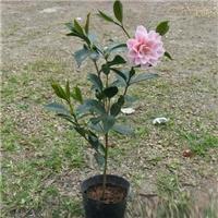 大量供应绿化工程盆栽五宝茶花 品种齐全