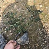 批发供应花坛盆栽盆景丰花月季花苗
