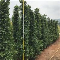厂家直销供应绿化景观树火山榕 规格齐全