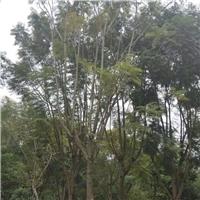 重庆苗木基地大量供应行道风景树蓝花楹