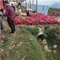 绿化景观造型花卉苗三角梅批量供应