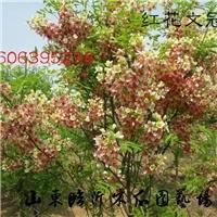 红的文冠果树