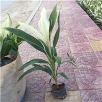 长乐苗木种植基地长期供应优质梦幻朱焦