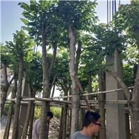 漳州大型苗木基地直销供应精品火焰木袋苗