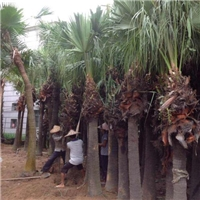 产地直销景观工程树高杆蒲葵 规格齐全