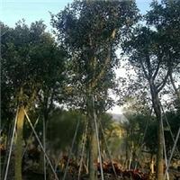 园林绿化风景树红皮榕长期特价供应