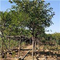 基地大量供应常绿乔木黄花槐 规格齐全