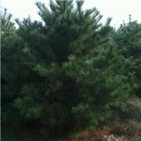 5.5米油松报价,5.5米-6米油松价格