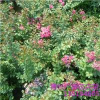 四季花卉苗木园 矮紫薇