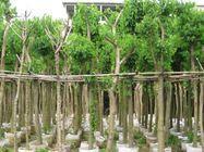 基地直销园林景观工程绿化树洋紫荆规格齐全