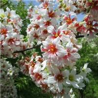 文冠木.文冠果树,文冠果图片