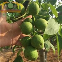 出口核桃种子冠核一号|冠核农业|核桃种子