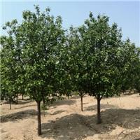 8公分八棱海棠树