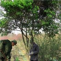 苏州瓜子黄杨树 造型小叶黄杨桩盆景