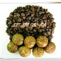 专业供应精选油茶种子